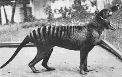 Thylacine - © Attention Deficit Disorder Prosthetic Memory Program