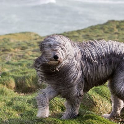 Windblown Dogs - © Attention Deficit Disorder Prosthetic Memory Program