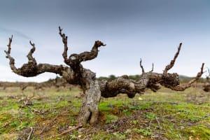 vinhas centenárias de Portugal