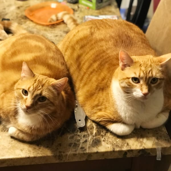 Our two ginger cats, Chessy and William