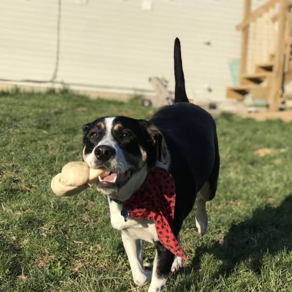 Our dog, Khaleesi, running with her bone