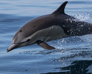 Dolphin and Whale Watching Safari, Dana Point - 2.5 Hours