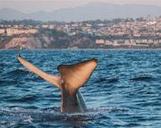 Zodiac Whale Watching Tour, Dana Point - 2 Hours