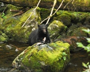 Ketchikan Black Bear and Wildlife Hiking Exploration - 2 1/2 Hours