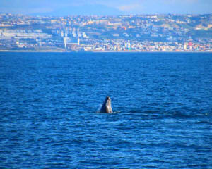 Blue Whale Watching San Diego - 4 Hours