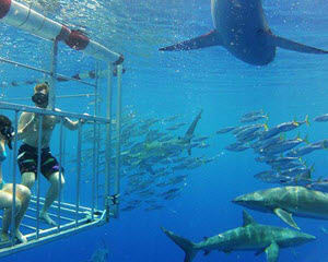 Shark Diving Oahu, Shark Cage Dive Hawaii on Oahu's North Shore, 2 hrs