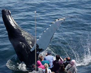 Whale Watch Tour Boston - 4 Hours