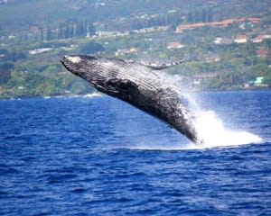 Big Island Whale Watching Catamaran Cruise - 2 Hours 30 Mins