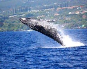 Big Island Whale Watching Catamaran Cruise - 2 Hours 30 Mins