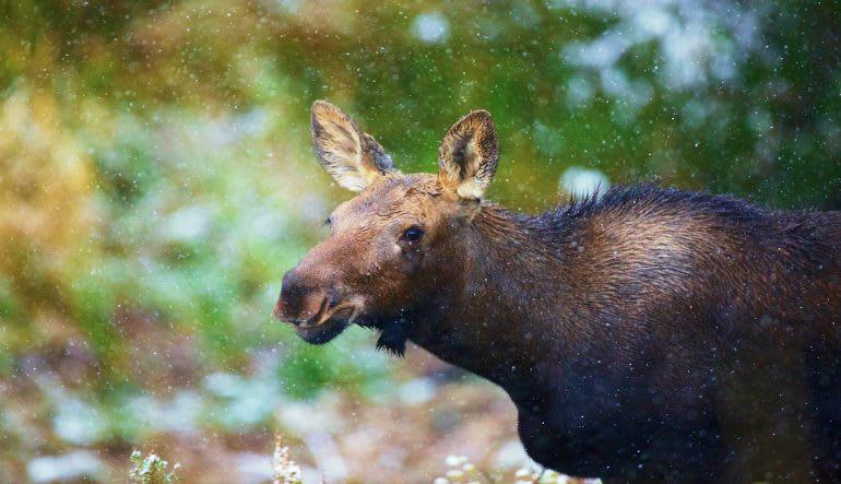 Jackson Hole Summer & Fall Wildlife Safari Moose