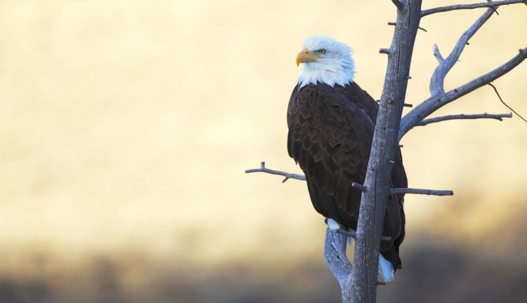 Jackson Hole Summer & Fall Wildlife Sunset Safari Eagle
