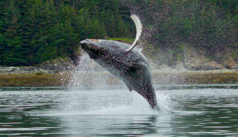 Whale Watching Tour, Juneau - 2.5 Hours