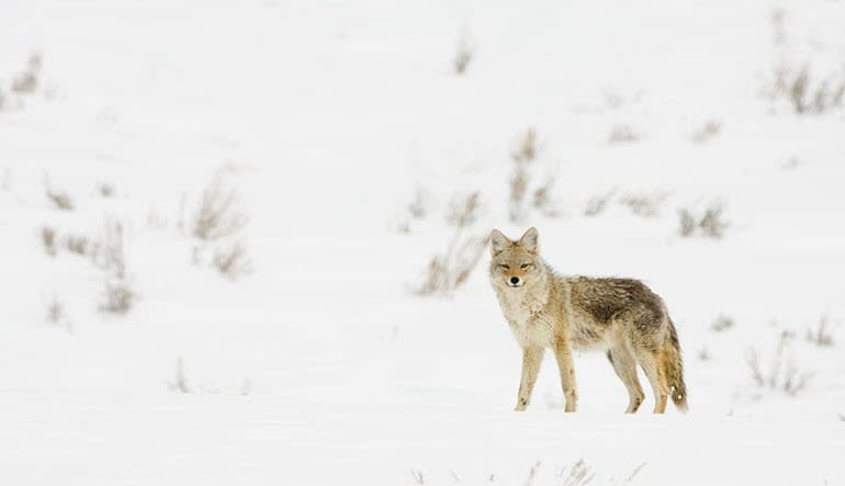 Jackson Hole Winter Wildlife Sunset Safari Fox