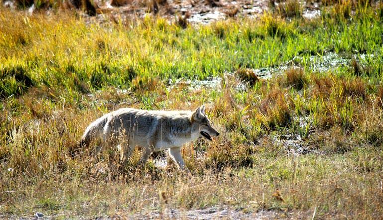 Jackson Hole Summer & Fall Wildlife Sunset Safari Wolf