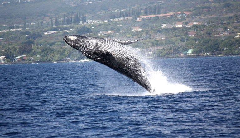 Big Island Whale Watching Catamaran Cruise