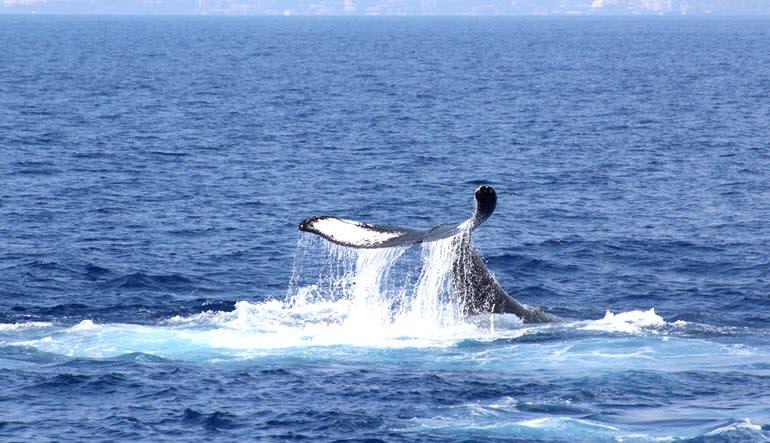 Big Island Whale Watching Catamaran Cruise Tail