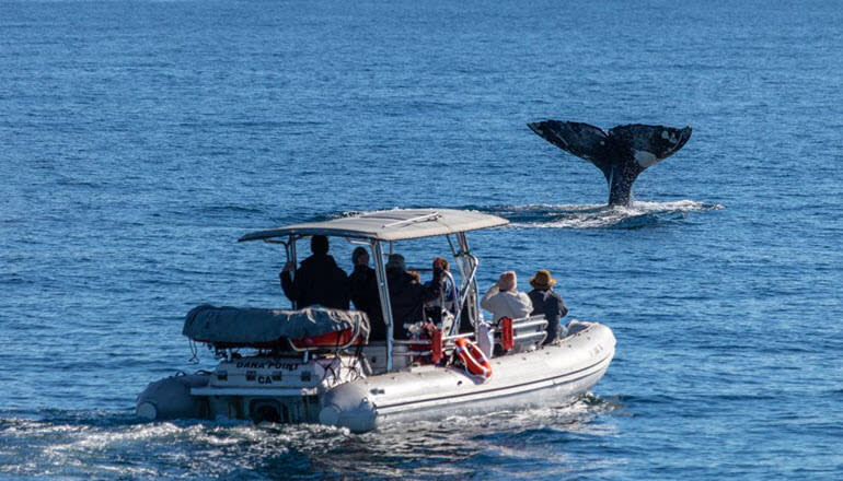 Zodiac Whale Watching Tour Dana Point Boat