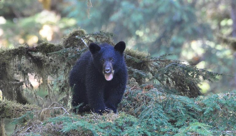 Ketchikan Black Bear and Wildlife Hiking Exploration Cub