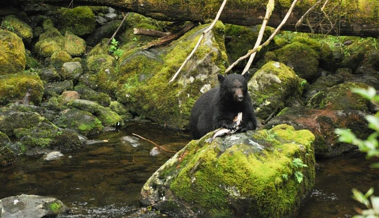 Ketchikan Black Bear and Wildlife Hiking Exploration Bear with Salmon