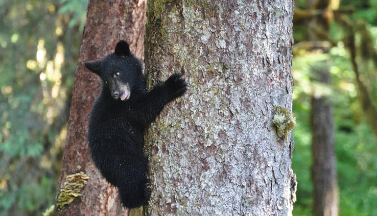 Ketchikan Black Bear and Wildlife Hiking Exploration Baby