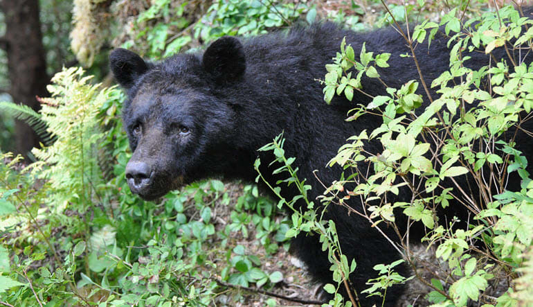 Ketchikan Black Bear and Wildlife Hiking Exploration