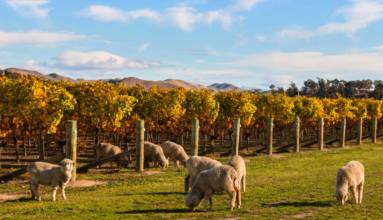 San Francisco Private Wine Tour, Sonoma Country Sheep