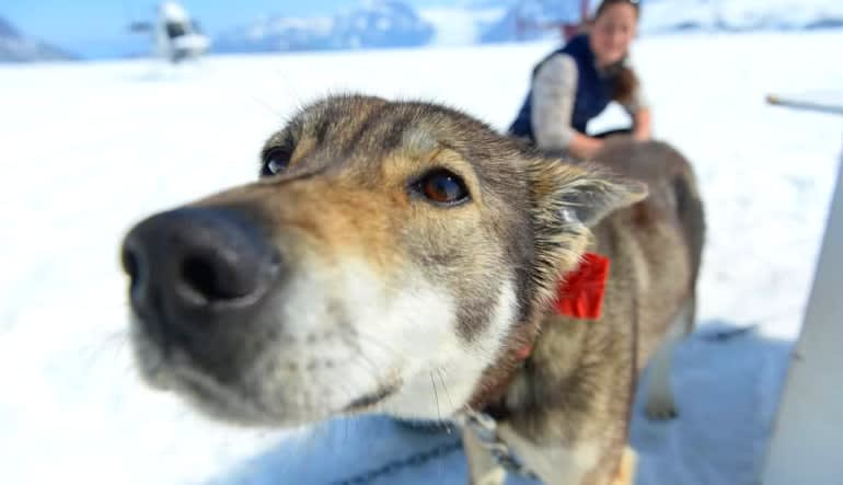 Helicopter and Glacier Dogsled Tour Wet Nose