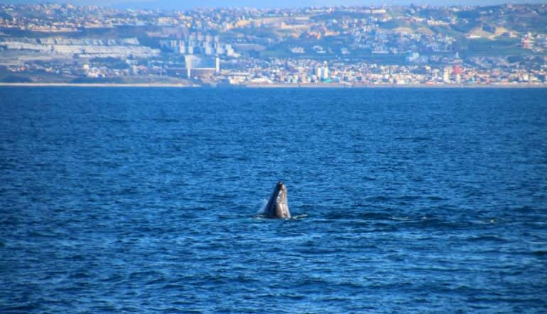 Summer Whale Watching Cruise San Diego - 4 Hours Peaking