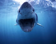 Great White Shark Ocean Floor Cage Dive, Port Lincoln - 3 Night