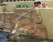 Crocodile Feeding Experience - Darwin
