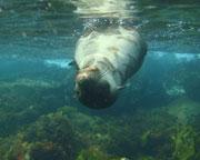 Sail & Snorkel with Seals - Mornington Peninsula
