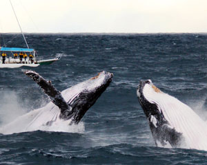 Whale Watching Sailing Cruise - Nelson Bay, Port Stephens