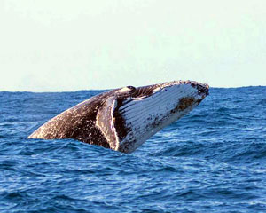 Whale Watching, Without the Crowds - Mooloolaba, QLD