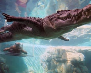 Swim With Crocodiles in the Cage Of Death & Cove Entry - Darwin