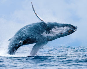 Whale Watching Tour, 3 Hours - Mooloolaba