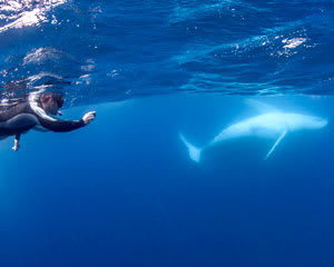 Swim with Humpback Whales, 3.5 Hours - Mooloolaba
