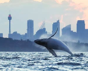 Extreme Whale Watching Safari, Whale Sighting Guarantee - Manly Wharf