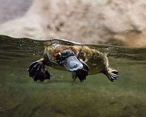 Platypus Encounter at Healesville Sanctuary