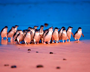 Phillip Island Ultimate Eco Tour, with Lunch - Departs Melbourne