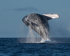 Whale Watching Cruise, 90 Minutes - Sunshine Coast