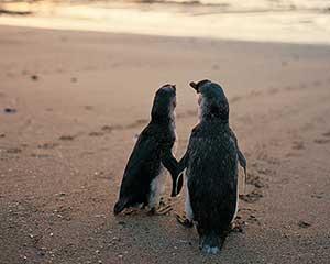 Penguin Parade and Koala Tour, For 2 - Phillip Island, Departs Melbourne