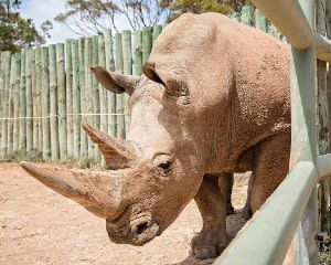 Rhino Encounter at Monarto Safari Park – Adelaide