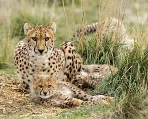 Cheetah Encounter at Monarto Safari Park – Adelaide