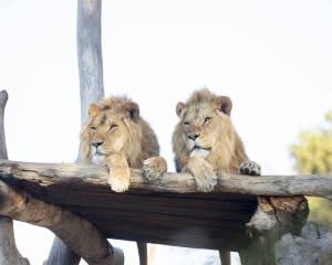 Lion Feeding and 360 Encounter at Monarto Safari Park – Adelaide
