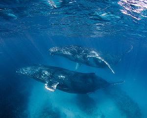 Humpback Whale Swim Tour – Ningaloo Reef, Exmouth