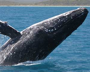 Morning Whale Watching Cruise, 3 Hours - Hervey Bay, Queensland