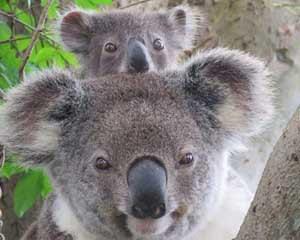 Koala-Spotting Tour, 3.5 Hours - Byron Bay