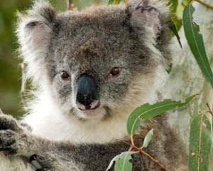 Koala Walking Tour, 2 Hours - Kangaroo Island
