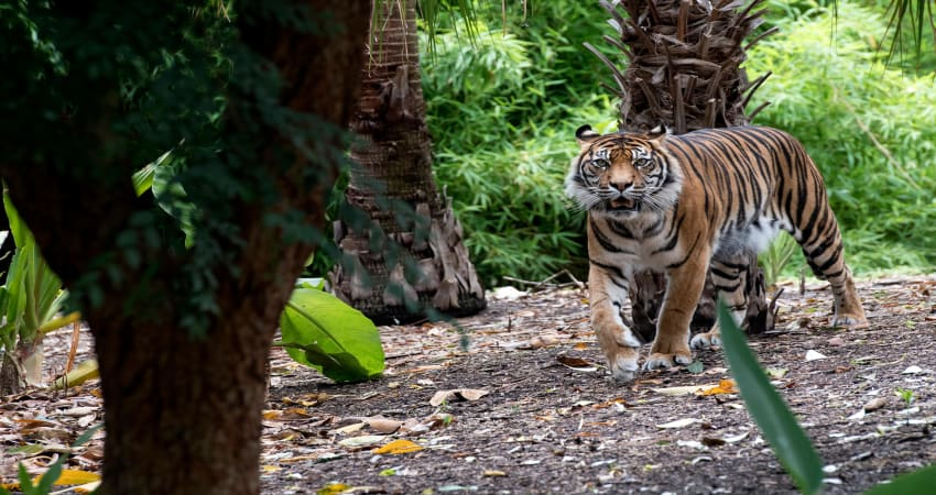 Big Cat Interactive Experience at Adelaide Zoo