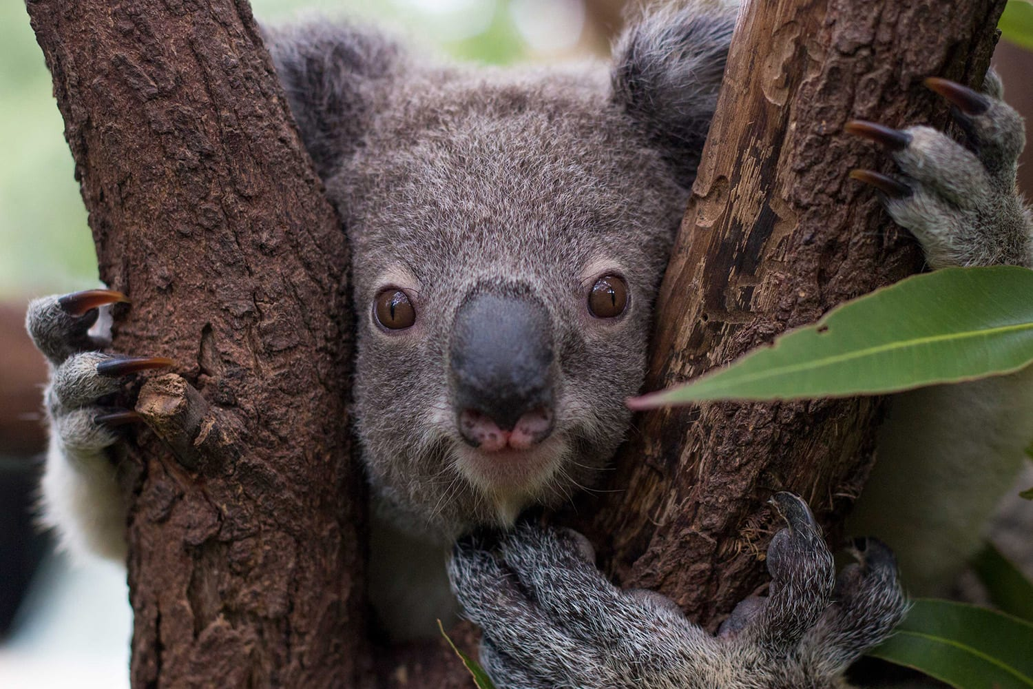 Currumbin Wildlife Sanctuary Entry with Koala Photo - Gold Coast